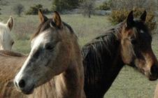 Grands Causses Arabians